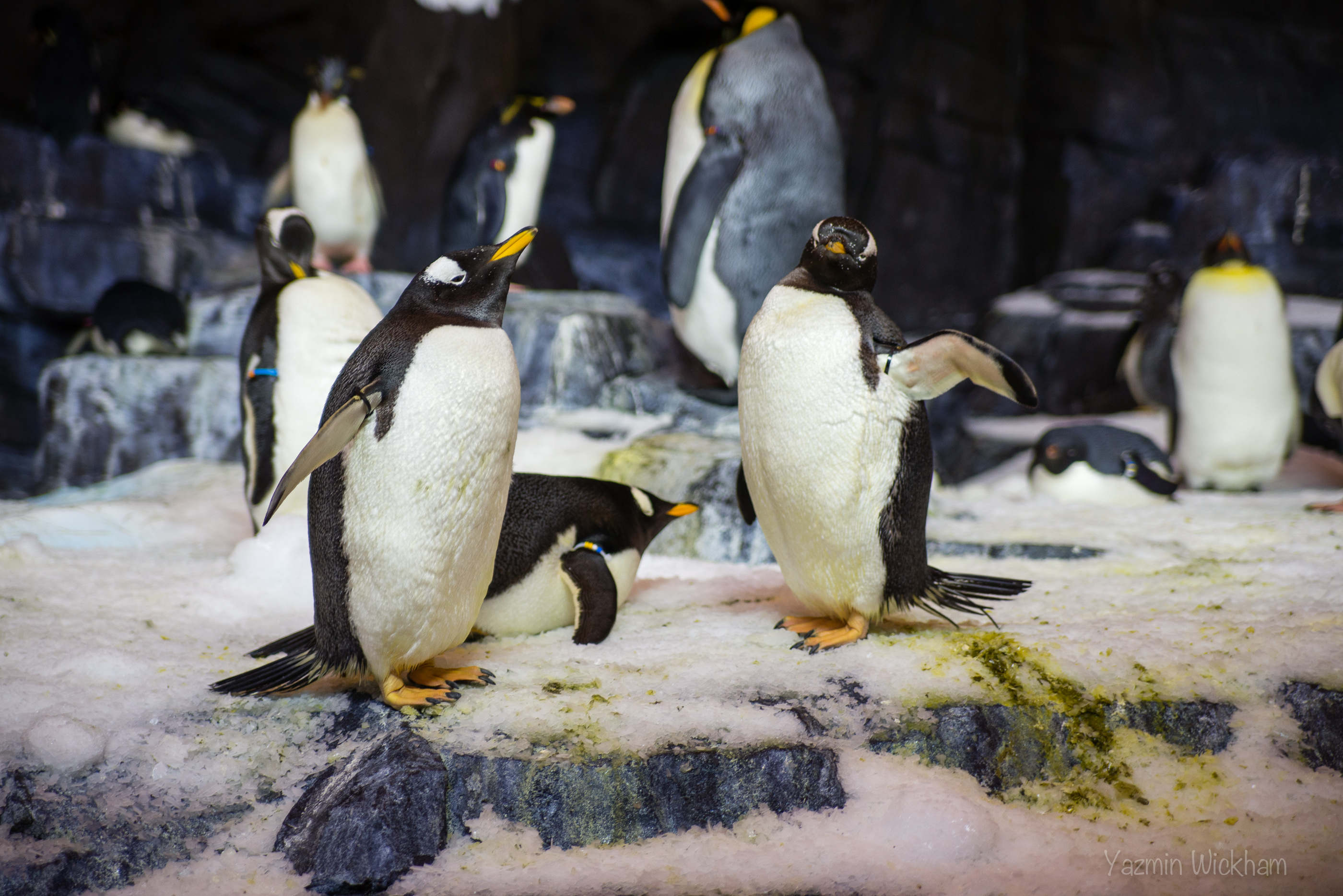 "{198/365} SeaWorld ""Antarctica"" penguins"